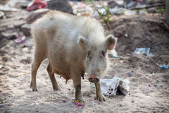 Pig on contaminated sand. Southeast Asia. Pig on the contaminated beaches. Southeast Asia stock image