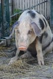 Pig in contemplation stock images