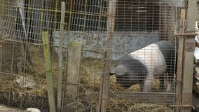 Pig in a Coop stock video footage