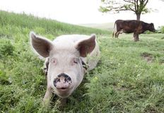 Pig and cow Royalty Free Stock Photography
