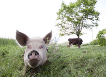 Pig and cow. Pig laying in grass and cow in the background Stock Photography