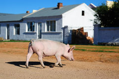 Pig crossing road Royalty Free Stock Image