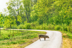 Pig crossing the road Royalty Free Stock Photography
