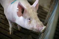 Pig in a dark stable Royalty Free Stock Photo