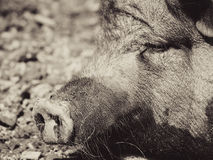 Pig, detail (5). Pig, detail, focus on the nozzle, the nose stock images