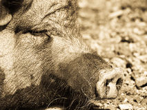 Pig, detail (6). Pig, detail, focus on the nozzle, the nose stock photos