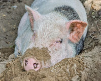 Pig in dirt Royalty Free Stock Image
