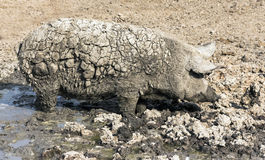 Pig dirty from mud Stock Photos