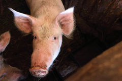 Pig with a dirty muzzle in a pigsty Royalty Free Stock Photos