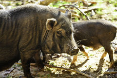 Pig With Dirty Nose Royalty Free Stock Image