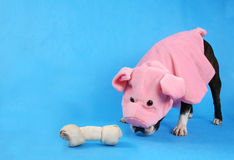 Pig Dog Stock Image