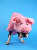 Pig dog. A boston terrier in a pig costume Royalty Free Stock Images