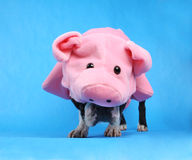 Pig dog. A boston terrier in a pig costume Royalty Free Stock Photo