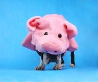 Pig dog Royalty Free Stock Photo