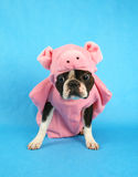 Pig dog. A boston terrier in a pig costume Stock Image