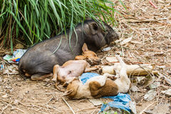 Pig and dog Stock Photos