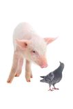 Pig and dove Royalty Free Stock Photography