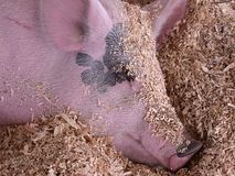 Pig Dreams. Portrait of pig nestled in sawdust Stock Images