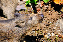 Pig drinking Stock Image