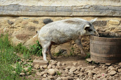 Pig Drinking Water from Barrel Royalty Free Stock Photos