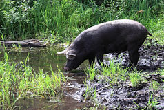 Pig drinks water Stock Photos