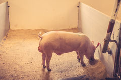 Pig eating grain in a stable Stock Image