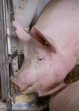 Pig eating from hog feeder Royalty Free Stock Photo