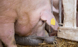 Pig eating from hog feeder Royalty Free Stock Photography