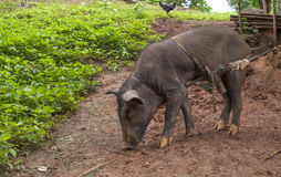 Pig eating mud Stock Images