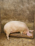 Pig eating in a pig farm Royalty Free Stock Photo