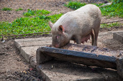 Pig eating from trough Royalty Free Stock Images