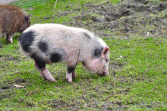 Pig eating Royalty Free Stock Photo