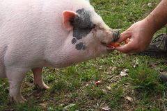 Pig eats apple Stock Photos
