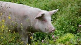Pig eats grass. Pink pig eats green grass, swine grazes stock video footage