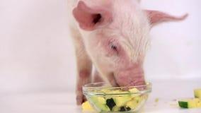 Pig eats pumpkin stock video