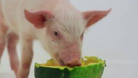 Pig eats pumpkin stock video footage