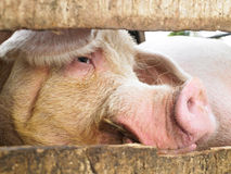 Pig in Enclosure Stock Photography