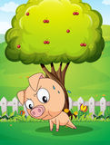 A pig exercising below the cherry tree Stock Photos