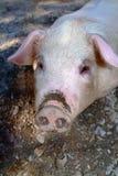 Pig face. Close-up Royalty Free Stock Image