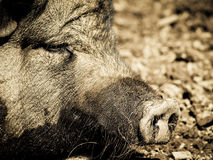 Pig face, detail (4). Pig face, detail, focus on the nozzle, the nose, outside stock photography
