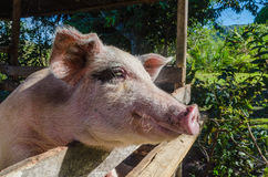 Pig face side. Face side of a pig in the farm Stock Photography