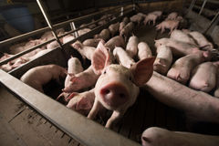 Pig at factory. Pig in pig sty on arganic farm Royalty Free Stock Images
