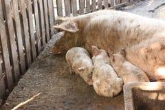 Pig family Royalty Free Stock Photo