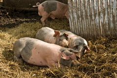 Pig family. A family of pigs play in their sty royalty free stock photography