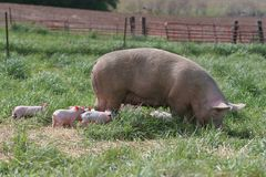 Pig family. Mother and piglets Royalty Free Stock Photos
