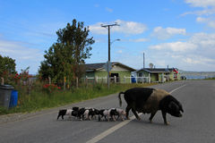 Pig family crossing the street, Chiloe Island, Chile Royalty Free Stock Photos