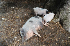 A pig family Royalty Free Stock Photography