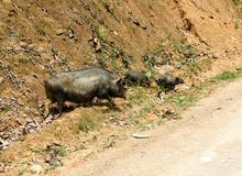 Pig family in north Vietnam. Ha Giang loop on the north of Vietnam. Motorbike trip stock photos