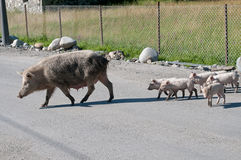 Pig family on the rode Royalty Free Stock Photography