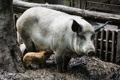 Pig family Stock Image